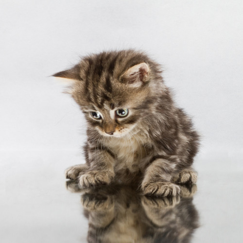 thefluffingtonpost:  PHOTO OP: Kitty Reflection Via crsan.