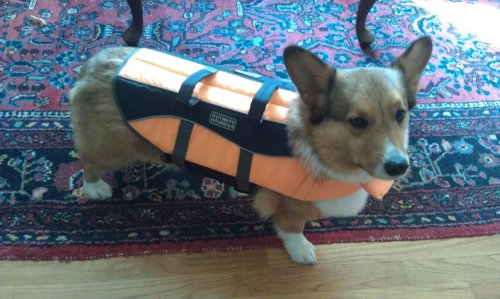 corgiaddict:  Gizmo's ready for some corgi-flopping this weekend! Submitted by Erin