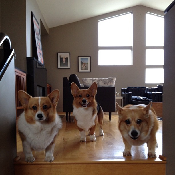 Whaddup??!!! #corgi #cute #love #petstagram #corgistagram #dog #photooftheday #iger (Taken with Instagram)