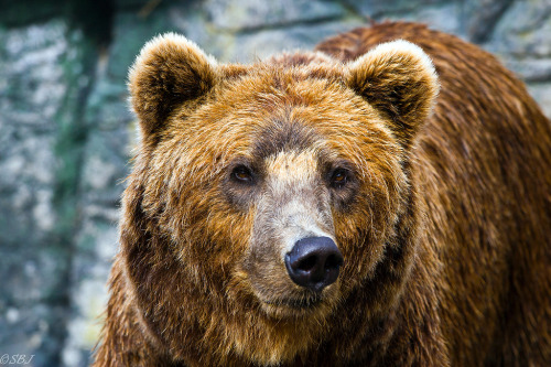 id-rather-be-free:  Brown Bear (by S.B.J)