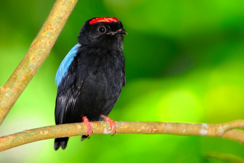 birdblog:  by Josef Gelernter  Blue-backed Manakin