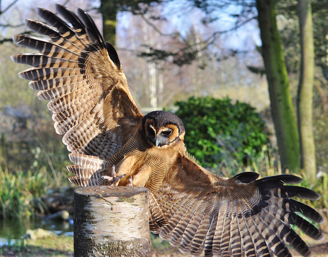 satiricdances:  Brown Wood Owl This is one of my favorite owl images because of the wings. It's a perfect artistic reference because you can see how the wings fit to the body so well. It's almost more like a bat wing rather than a bird wing because of the extra layer of skin and feathers above the elbow joint than connects back to the body. Also Brown Wood Owls are among my favorite owl species.