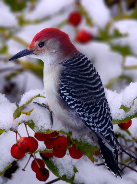 magicalnaturetour:  Red Bellied Woodpecker by Ron Jones :)