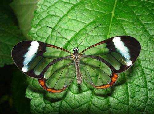 raichuuu:  European glasswing butterfly