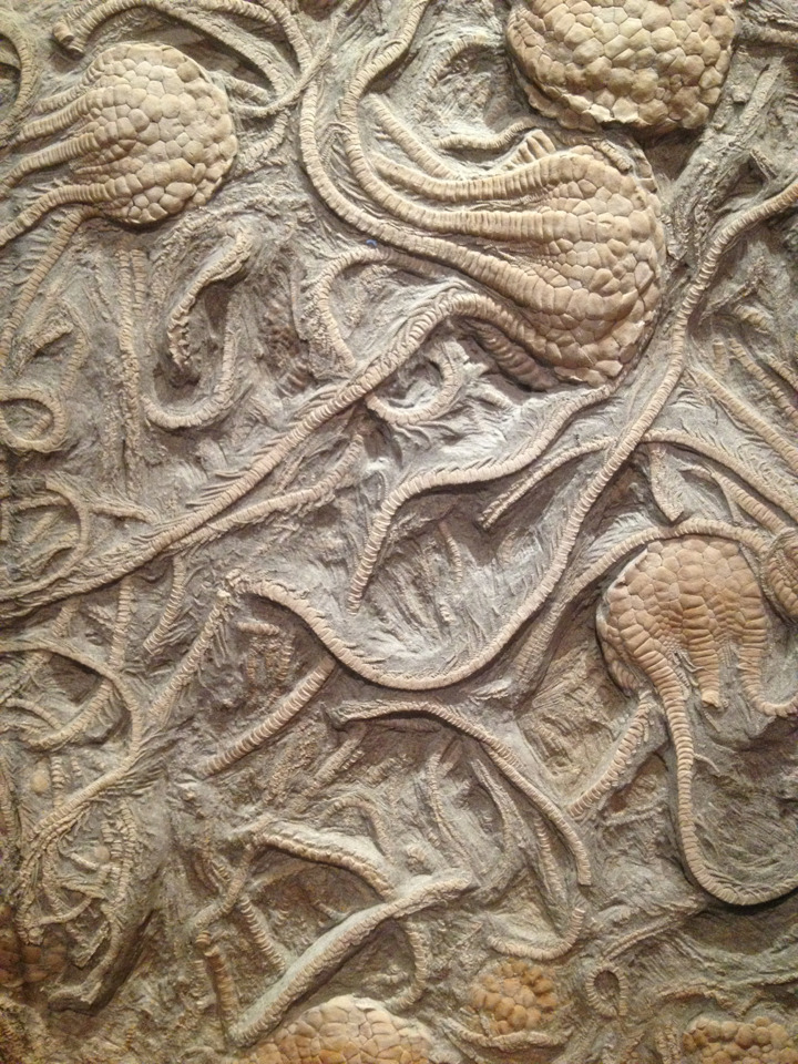 rhamphotheca:  Fossil Crinoids (Uintacrinus socialis), Smithsonian National Museum of Natural History, Washington, D.C. Because many crinoids resemble flowers, with their cluster of waving arms atop a long stem, they are sometimes called sea lilies. But crinoids are not plants. Like their relatives—starfishes, sea urchins, sea cucumbers, and brittle stars—crinoids are echinoderms, animals with rough, spiny surfaces and a special kind of radial symmetry based on five or multiples of five. Crinoids have lived in the world's oceans since at least the beginning of the Ordovician Period, roughly 490 million years ago. They may be even older. Some paleontologists think that a fossil called Echmatocrinus, from the famous Burgess Shale fossil site in British Columbia, may be the earliest crinoid. The Burgess Shale fossils date to the Middle Cambrian, well over 500 million years ago. Either way, crinoids have had a long and successful history on earth… (find out more: GeoKansas)