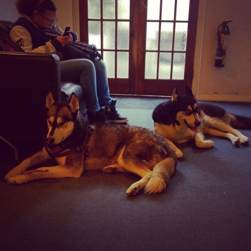 Chillin'. #husky #dogs (Taken with Instagram at Husky Studio)