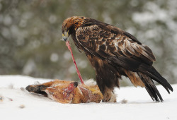 fairy-wren:  golden eagle with an unfortunate fox (photo by mattisj)