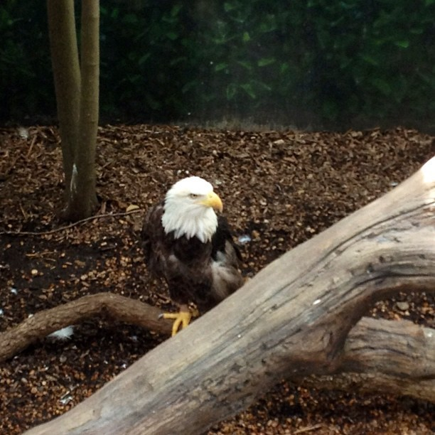 Liberty the eagle at Houston zoo. Looking quite the majestic. Her wings aren't clipped, but never healed properly after an injury. (thanks to the Houston zoo intern for the clarification!)