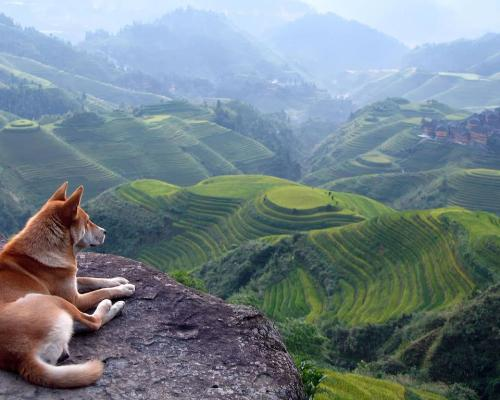 Dog overlooking rice terraces in China.