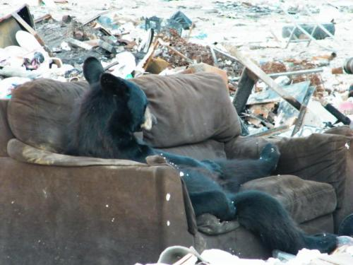 theclearlydope:  Bears have Sundays too.