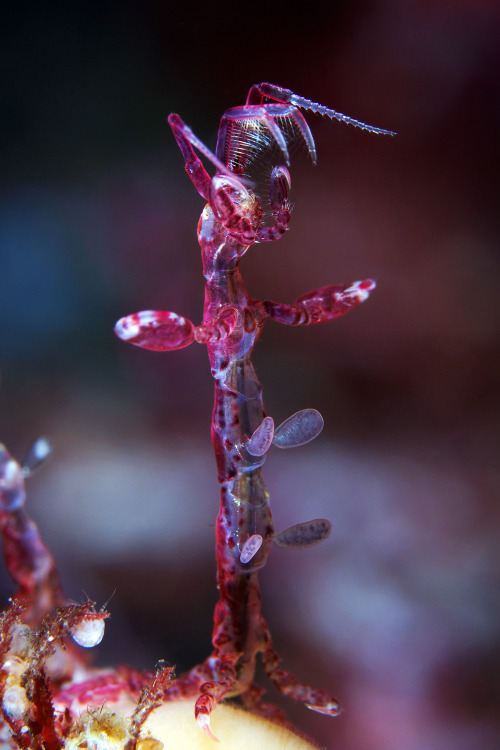 Caprella septentrionalis, an arctic species of skeleton shrimp. Picture © Alexander Semenov