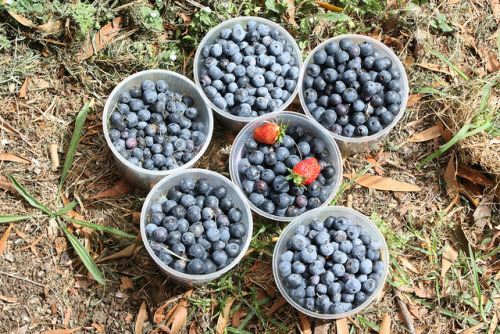 djalbertfreeman:  Blueberries on Flickr. These are the blueberries my mum and I picked in her garden. Via Flickr: