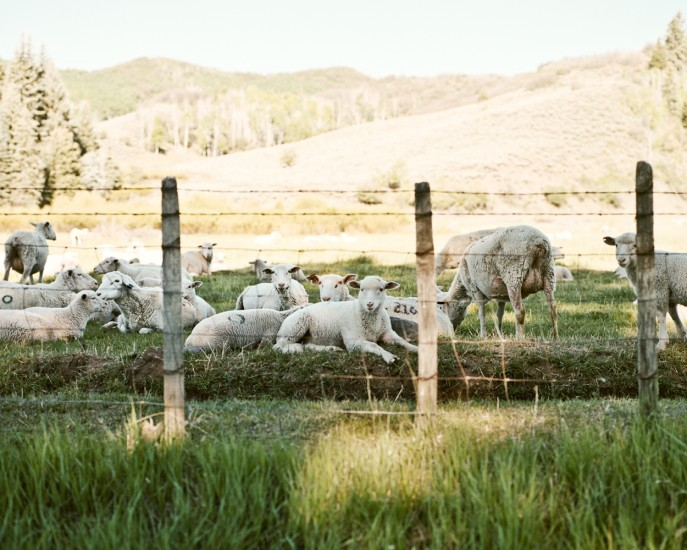 Sheep, Paonia Colorado for Bloomberg Businessweek.