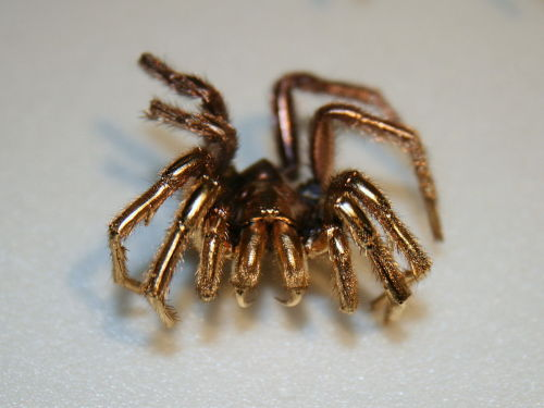 """A spider coated in gold to prepare it as a specimen for Scanning electron microscopy."""