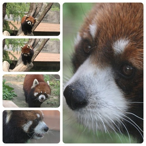Red Panda at Seoul Zoo (Taken with Instagram)