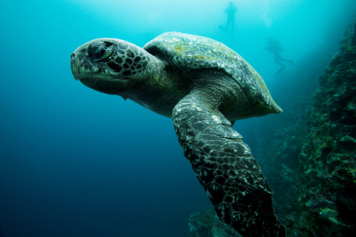 Green Sea Turtle - Galapagos, Ecuador (by James R.D. Scott)