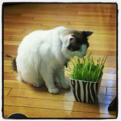 xblazingdemonx: He's enjoying his grass…thing :3