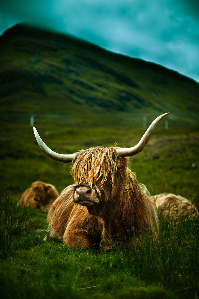 aurorae:  Highland Cow (by Luis Montemayor)