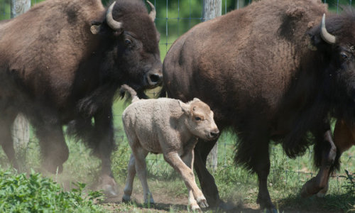 "kqedscience:  A Bison So Rare It's Sacred ""But when Bison No. 7 on Peter Fay's farm gave birth to a white, 30-pound bull calf a month ago, it made the Fay farm below Mohawk Mountain, for the moment at least, the unlikely epicenter of the bison universe. For Mr. Fay, what happened was an astoundingly unexpected oddity — white bison are so rare that each birth is viewed as akin to a historic event."""