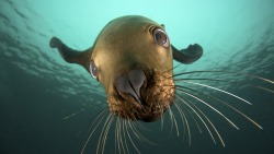 imgoftheday:  Extreme close-up (Pinniped)