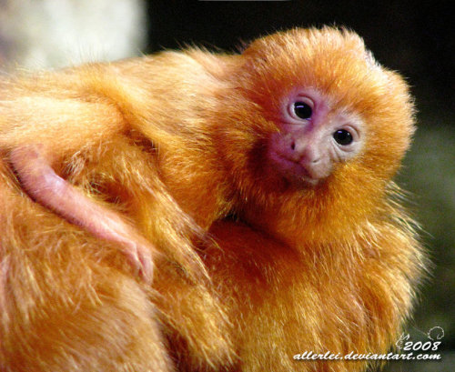 llbwwb:  Tamarin: Are you my friend?by *Allerlei.Golden lion tamarin baby