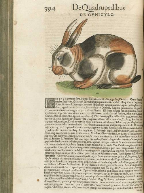 serpentskirt:  Gesner's Conradi Gesneri medici Tigurini Historiae animalium, published in Zurich, 1551-58 and 1587.  a fat bunny