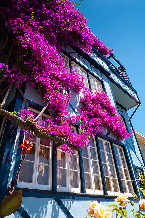 Amazing pink flowers against a beautiful blue building.