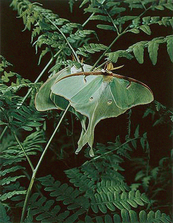 luna-moth, eliot porter, nature photography, design squish blog