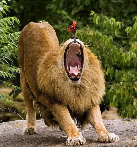 Yawning Lion and a Butterfly!