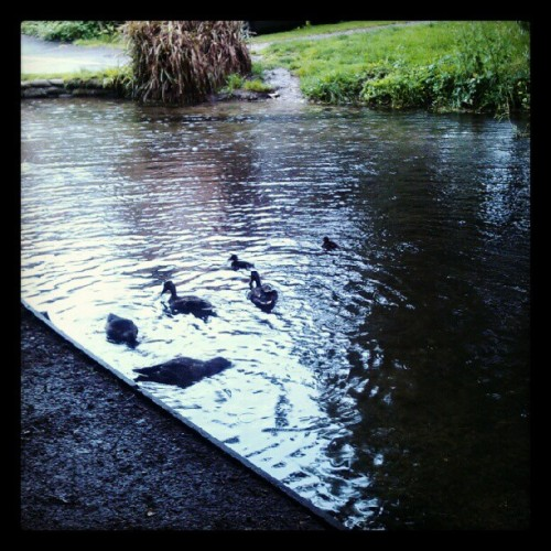 Duckies with little duckies, River Arlene, Hampshire (Taken with Instagram)