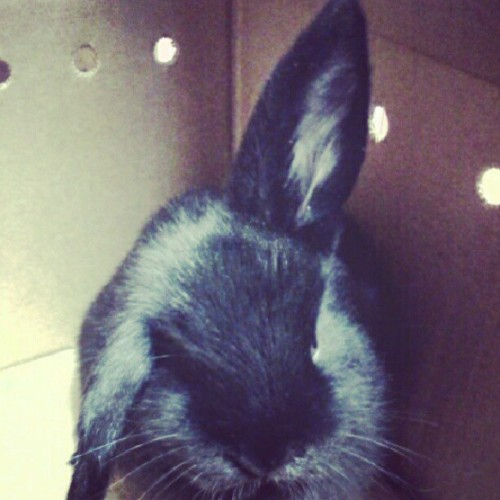 #cute #black #bunny #bunnyEars #floppyEars #fluffy (Taken with Instagram)