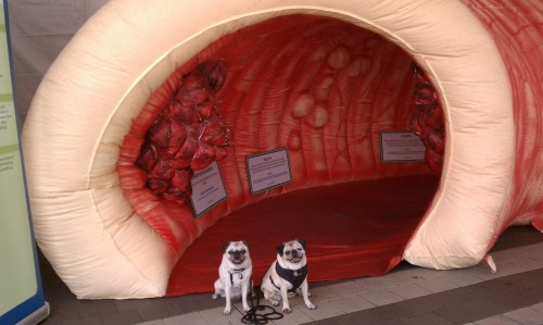 Pugs with Giant Colon
