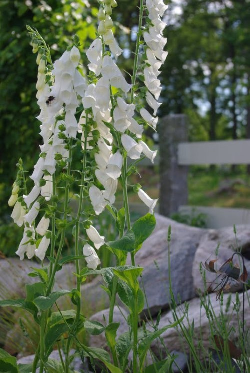 source: Froken Knopp ~ lovely white foxglove ~ next plant to add to my tiny garden