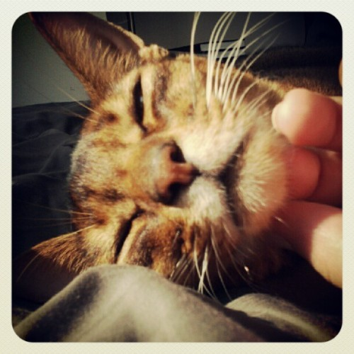 morning chin scratches #teegah #cat #abyssinian  (Taken with Instagram)