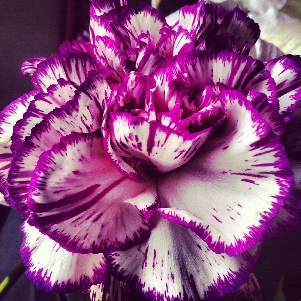 Carnation Flower :D the only flower that I love :] (Taken with Instagram)