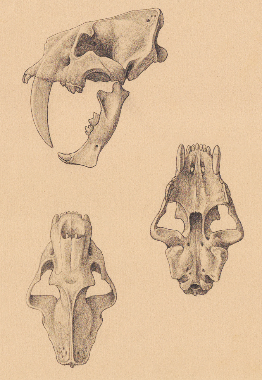 paleoillustration:  Megantereon, Smilodon populator and Promegantereon by Mauricio Antón.