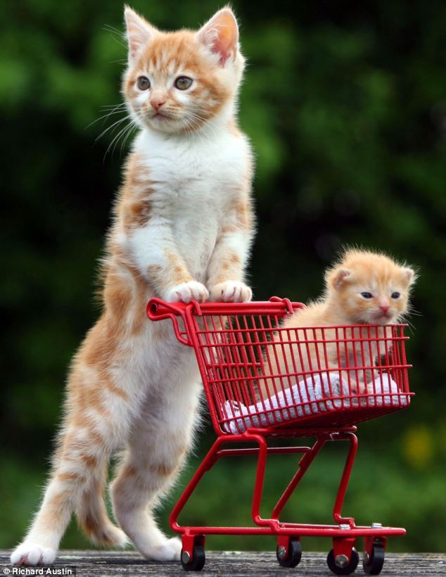 Kitten pushes tiny orphan in a trolley after its mother was killed crossing a road (Mail Online)