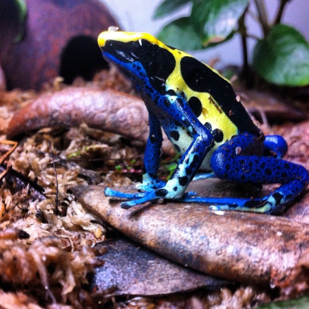 Another one of my dads tinks. #tinctorius #dartfrog #tink (Taken with Instagram)
