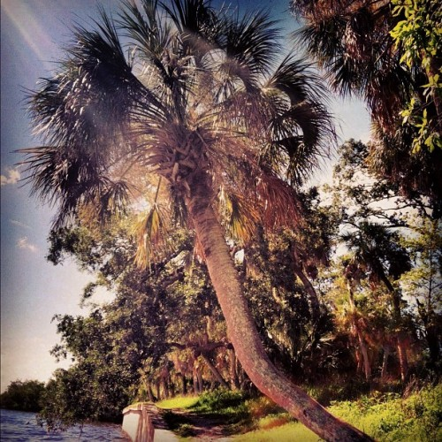 #palmtree #glare #florida #ig_florida #tree #nature #sun #park #iphone #iphonesia #iphoneonly #ikonic (Taken with Instagram at Philippe Park)
