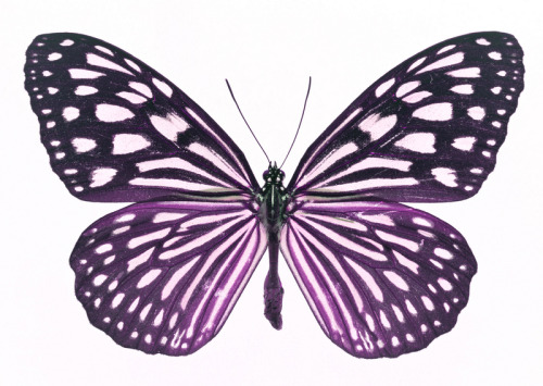 Perhaps misleading in its form, the thyroid gland is shaped like a butterfly.  A familiar trope for any ME sufferer when visiting even the most understanding of doctors is one of misunderstanding and of having symptoms and frustrations overlooked. Many struggle and battle to get their initial diagnosis even made, whilst others battle to get their doctors to look past their ME diagnosis. I fall into the latter category and since getting diagnosed with ME 13 years ago my - largely very kind GP - and all the other doctors and consultants I have seen have often been all too quick to blame any symptom or problem I have on my ME. This has been problematic. ME is a vague and grey mass of symptoms but having it does not mean you are excluded from being able to get anything else wrong with you. I've just spent 4 years battling to get recognised a thyroid condition that has totally decimated any progress I previously made with my ME management diagnosed. The combination of having ME and a thyroid problem is overwhelmingly difficult to cope with when untreated and when my doctors have glossed over it and looked everywhere else but the most obvious place in my blood test results for almost half a decade it has been disheartening to say the least. It has been uplifting and relieving to get to the bottom of the mystery. It won't help my ME symptoms but it will help me get back on track with managing my disease and I could have been saved 4 years of extra suffering had my doctors been a bit more open to what else my symptoms could mean in an ME patient.  What is most agonising is that the thyroid disease I have runs in my family and so they had a huge genetic marker to go on. but we got there in the end and I will soon be on my new medication and also having to start a radical new 'stone age' or 'paleo' diet - yoiks! No dairy, gluten or wheat (or most grains, some fruits and many other carb sources) for me any more folks! but I'm excited to do anything however radical now I can actually get better from this 4 year slump. Before the thyroid diagnosis I wouldn't have done the diet, only in combination with the drugs am I happy to give it a go as a supporting mechanism for the actual medicine that's going on that my body desperately needs to start functioning again.  I have auto-immune thyroiditis which is developing into something called Hashimoto's. This article about Sarah O'Neil's fight with the disease from The Independent in 2006 describes perfectly what it's like living with an underactive thyroid, just how debilitating it can be, when it is untreated for a long length of time and degenerates.   There is no doubt I definitely have ME as well as a thyroid problem as the ME predates my thyroid symptoms, but this thyroid problem could be masking progress I could have been making with the ME and also has destroyed all the headway I made fighting to manage my ME.  If you think you might have problems with your thyroid, read more at the British Thyroid Foundation  Another good source of information is online at endocrineweb.com