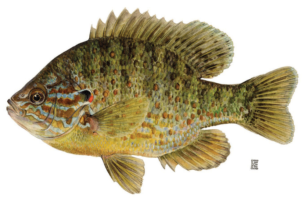 rhamphotheca:  Pumpkinseed Sunfish (Lepomis gibbosus)  The pumpkinseed is the most widely distributed and abundant sunfish in the eastern United States. They seem to prefer weedy, warm-water lakes and ponds, using weed patches, docks, and logs for cover and usually staying close to shore. They are present in the calm pools of most rivers. The average pumpkinseed is about 5 - 6 inches in length, although some may approach 10 inches.  (via: Cornell Univ.)