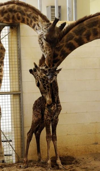 Giraffes' family photo.