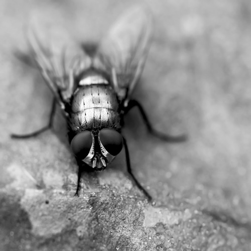 redzenradish:  Fly Portrait of a Musca Domestica as a Young Cyclorrhapha.
