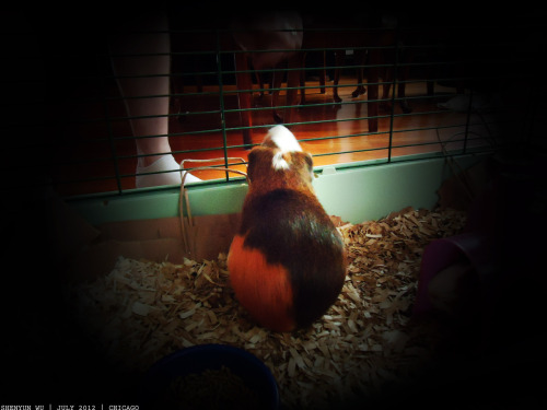 Kabob. #guineapig #pet #fuzzy #kabob July 2012. Chicago, IL.