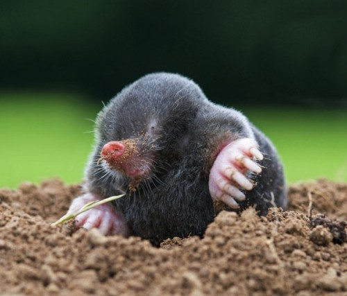 Mole (talpa europaea) rarely seen above ground.  Picture: David Cole