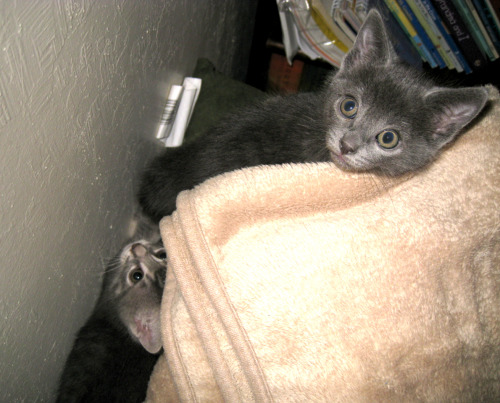 [picture shows a small grey kitten with greenish eyes and triangular ears looking up from the top of a pile of blankets, and a small grey and white kitten with yellowish eyes behind the first kitten and lower down, between the blankets and the wall]  Matt's parents have a stack of blankets on one side of their living room and recently the kittens have taken to climbing it, shoving themselves between the layers, sleeping on it, etc. Here Bruce looks a bit bug-eyed but that was just because of the flash and the fact that I caught him at a bit of a funny angle. :P Meanwhile, Ella has managed to find a nice little niche between the blankets and the wall. It's so neat watching them finding all these novel ways to explore and enjoy random household objects. I can't even imagine how awesome it must be to be a kitten and find BLANKET MOUNTAIN!