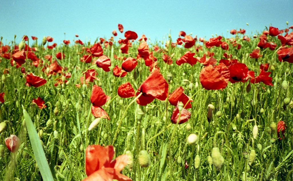Poppies again… Yashica T5 / Agfa Vista 200 expired (C41 home process)