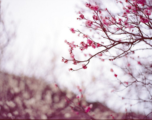 うめ by satuma de gowasu on Flickr.