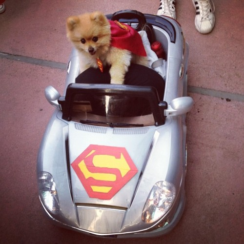 THIS DOG WAS THE GREATEST!!! #pomeranian #superman  (Taken with Instagram at San Diego Comic-Con International 2012)