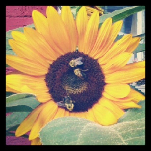 Til dig, min kæreste @oz7am. #bees #flower #sunflower #insects #garden #montreal #bestoftheday #instagramhub #instgram (Taken with Instagram)